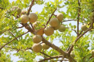 बीेल का पेड़