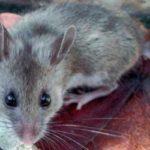 चूहा कैसे भगायें