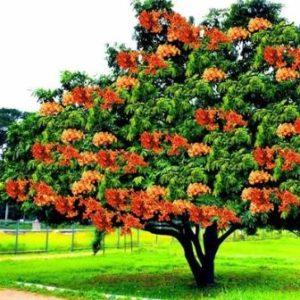 अशोक वृक्ष