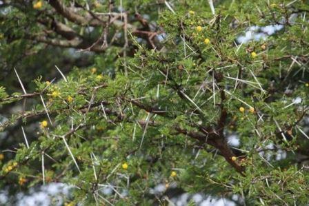 बबूल का पेड़ सस्ती सुलभ दवा