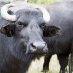 भैंस और गाय के दूध में फर्क