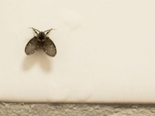 ड्रेन फ्लाई नाली मक्खी कैसे मिटायें