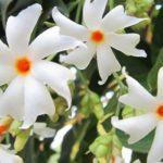 पारिजात की पत्ती फूल से उपचार